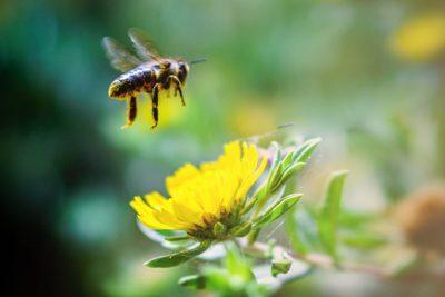 Eine Biene im Anflug auf eine Löwenzahn-Blüte