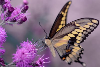 Schwalbenschwanz auf lila Blüte