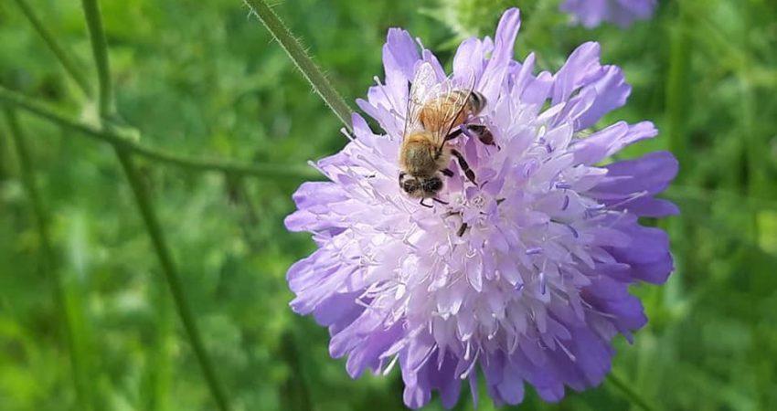 Lilafarbene Blume, auf der eine Honigbiene sitzt