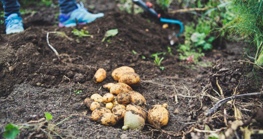 Acker, auf dem geerntete Kartoffeln liegen